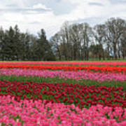 Colorful Tulips Blooming At Tulip Festival Poster
