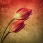 Colorful Tulips Textured Poster