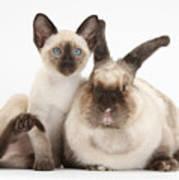 Colorpoint Rabbit And Siamese Kitten Poster