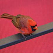 Colour Me Red - Northern Cardinal - Cardinalis Cardinalis Poster