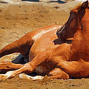 Colt Lying Down Poster