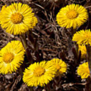 Coltsfoot Ring Poster