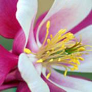 Columbine Flower 2 Poster