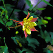 Columbine Outstanding Red Yellow  Poster