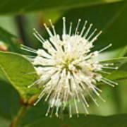 Common Buttonbush Poster