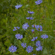 Common Chicory Wildflowers #1 Poster