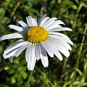 Common Daisy Poster