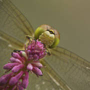 Common Darter Dragonfly Poster