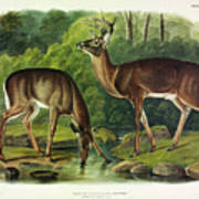 Common Deer Poster