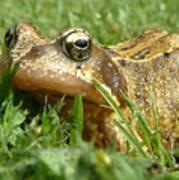 Common Frog Rana Temporaria Poster