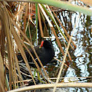 Common Gallinule Poster