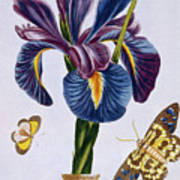 Common Iris With Butterflies Poster