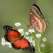 Common Lacewing Butterfly Poster by Thanh Thuy Nguyen