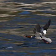 Common Merganser Duck Poster