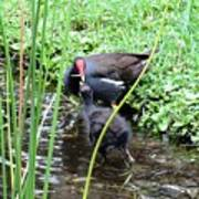 Common Moorhen And Chick Poster
