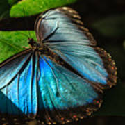 Common Morpho Blue Butterfly Poster