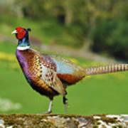 Common Pheasant. Poster