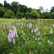 Common Spotted Orchids Poster
