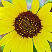 Common Sunflower In Northwest North Dakota Poster