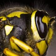 Common Wasp Vespula Vulgaris Close-up Poster