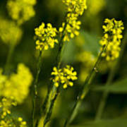 Common Wintercress Flowers Poster