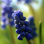Compact Grape-hyacinth 2 Poster