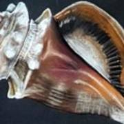 Conch Study Poster