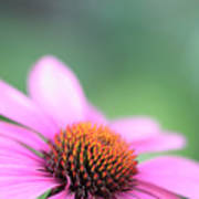 Cone Flower 2 Poster
