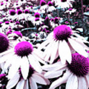 Cone Flower Delight Poster