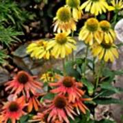 Cone Flowers Poster