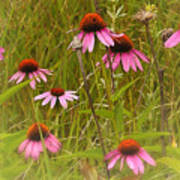 Cone Flowers In The Meadow Poster