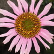 Coneflower In The Pink Poster