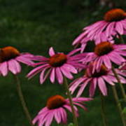 Coneflower Spray Poster