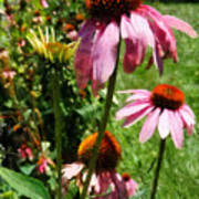 Coneflowers In Garden Poster