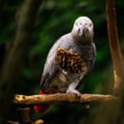 Congo African Grey Parrot Poster
