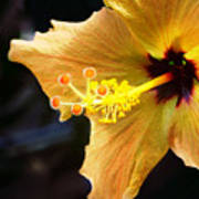 Conservatory Hibiscus Poster