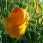 Contemporary Orange Poppy Flower Unfolding In Sunlight 10 Baslee Troutman Poster