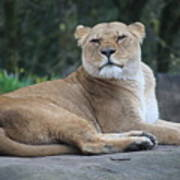 Contented Lioness Poster