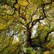 Coole Park Tree Galway Ireland Poster