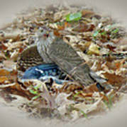 Cooper's Hawk - Accipiter Cooperii - With Blue Jay Poster