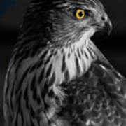 Coopers Hawk Bw Poster