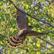 Cooper's Hawk In Early Morning Light Poster