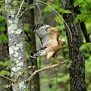 Coopers Hawk In New Hampshire Poster