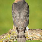 Cooper's Hawk In The Backyard Poster