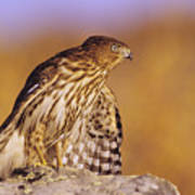 Coopers Hawk Poster