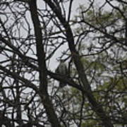 Cooper's Hawk Perched In Tree Poster