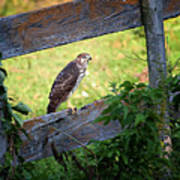 Coopers Hawk Perched On A Weathered Fence Poster