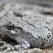Cope's Gray Tree Frog #5 Poster