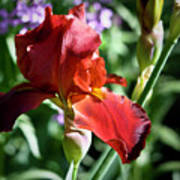 Copper Iris Squared 1 Poster