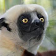 Coquerel's Sifaka Lemur Poster
